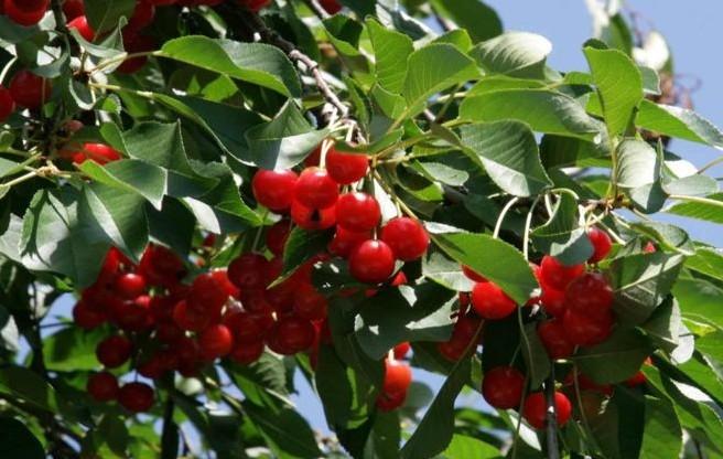 Pomi fructiferi samburoase